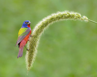 Painted Bunting perched on foxtail