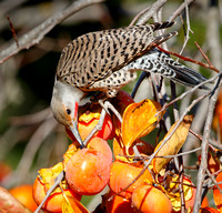Northern Flicker, feeding on persimmons