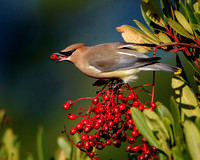 Cedar Waxwing, feeding on toyon berries