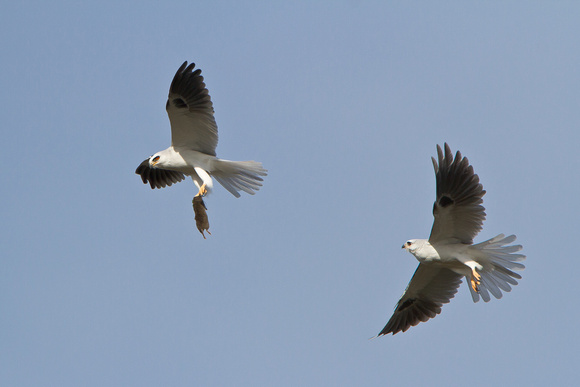 White-tailed Kites, passing vole from male to female