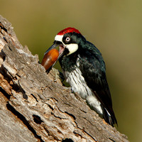 Acorn Woodpecker, inserting acorn into granary tree