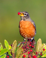 American Robin, feeding on toyon berries