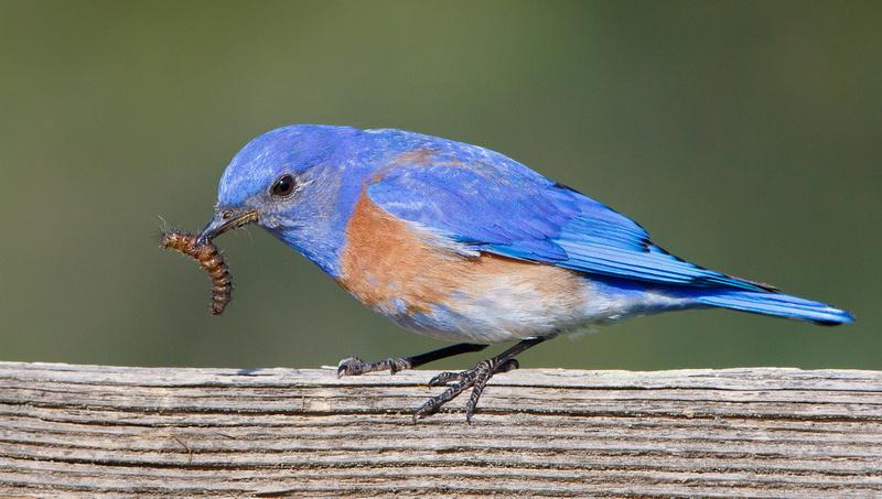 Western Bluebird, male eating caterpillar