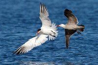 Caspian Tern, chased by Heermann's Gull