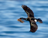 Pelagic Cormorant, with nest material