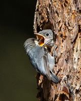 Pygmy Nuthatch, feeding Mountain Bluebird chick