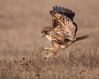 Hawk vs. Vole