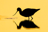Silhouette of American Avocet feeding at sunrise