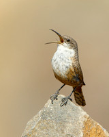 Canyon Wren singing