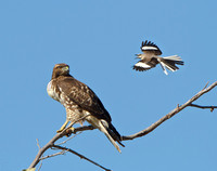 Red-tailed Hawk (with very full crop), harrassed by Northern Mockingbird