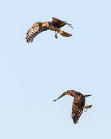 Northern Harrier food exchange; parent drops prey for fledgling to catch
