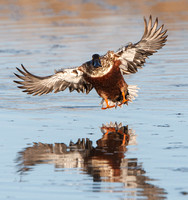 Northern Shoveler, male in flight