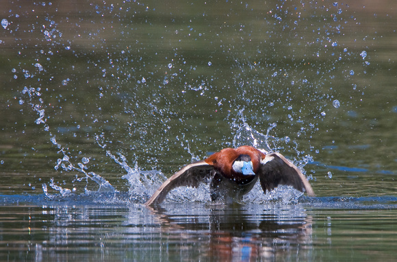 Ruddy Duck. Courtship display -- lunging.
