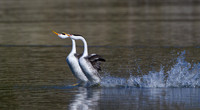 Clark's Grebes performing thier rushing dancing courtship display