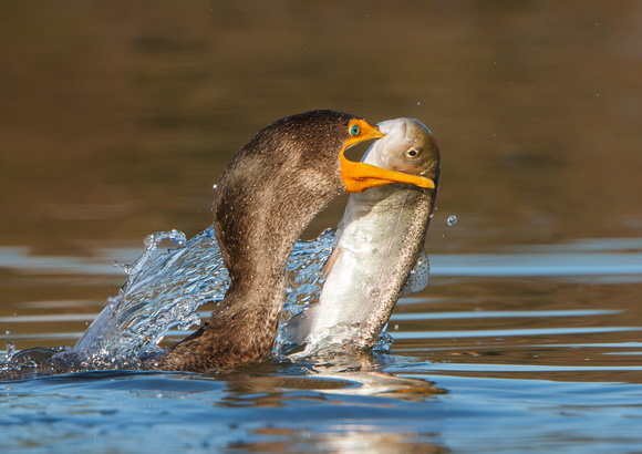 Double-crested Cormorant, with big fish