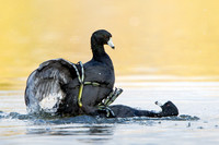 American Coots, fighting / sparring