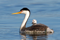 Clark's Grebe with chick sitting atop parent