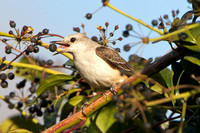 Scissor-tailed Flycatcher eating a berry