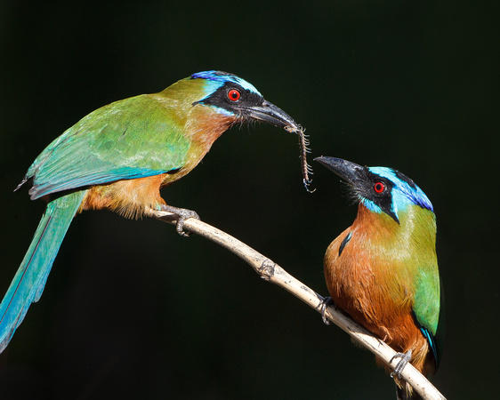 Trinidad Motmot; formerly blue-crowned Motmot