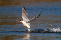 Caspian Tern diving for fish