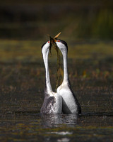 "Western and Clark's Grebes, ""weed ceremony"" courtship display"