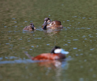 Ruddy Duck family