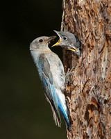 Mountain Bluebirds, adult female feeding young