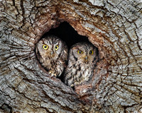 Western Screech-Owls at nest hole
