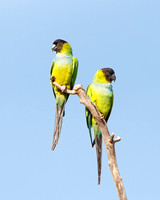 Pair of Black-hooded Parakeets, also called Nanday Parakeet or Conure