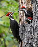 Pileated Woodpeckers, adult male (father) at nest with young