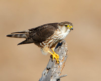 Female Merlin, Prairie race/subspecies