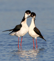 Black-necked Stilts; crossed bills following mating