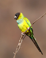 Black-hooded Parakeet, also called Nanday Parakeet or Conure