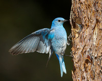 Mountain Bluebird, male at nest