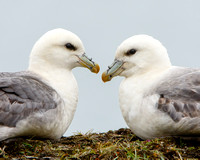 Northern Fulmar, courting pair