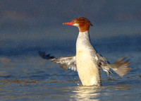 Common Merganser, wing-flap