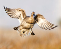 Northern Pintail, female in flight, landing