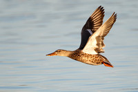 Northern Shoveler, femaie in flight