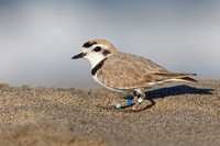Snowy Plover, breeding plumage