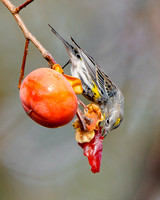 Yellow-rumped Warbler, feeding on persimmon