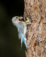Mountain Bluebird, chicks being fed grasshopper by adult female