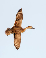 Northern Pintail, female in flight