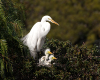 Great Egret, at nest with 2 chicks