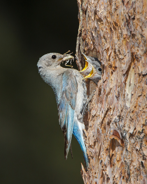 Mountain Bluebirds, chicks being fed grasshopper by adult female