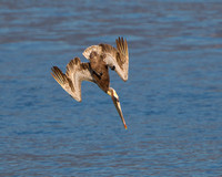 Brown Pelican, diving