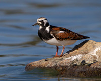 Ruddy Turnstone, breeding plumage