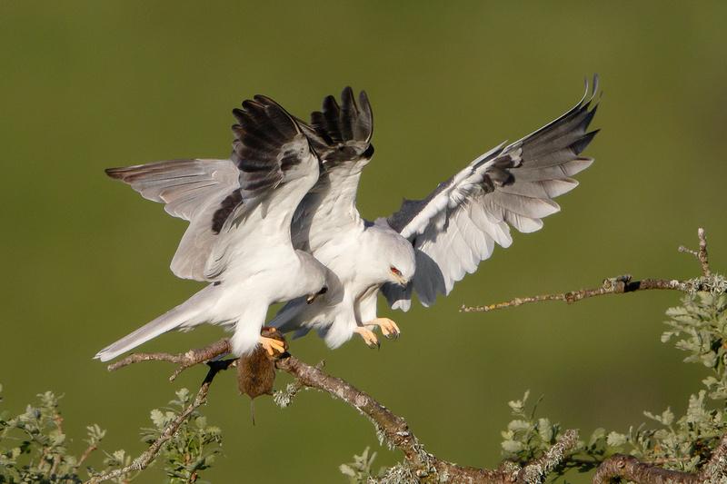 White-tailed Kites, courting pair