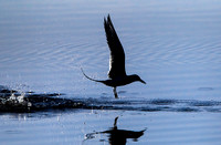 Silhouette of Forster's Tern diving/catching fish