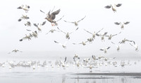 Ross's Geese, with Greater White-fronted Geese, on foggy morning