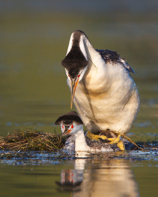 Clark's Grebes, mating